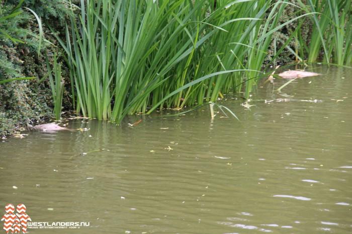 Dode vissen in water vanwege overstort riool