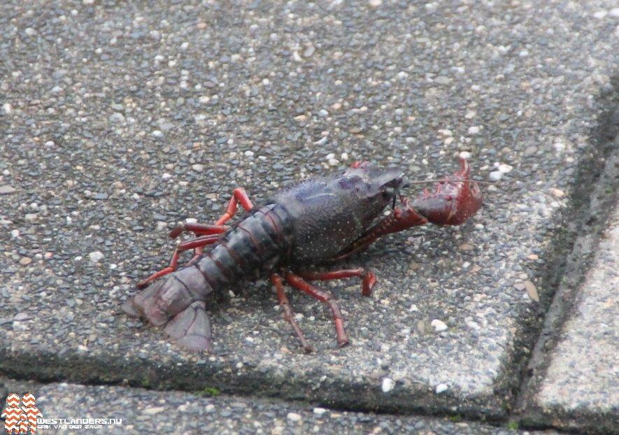 Vissenbescherming wil verplichte verdoving voor kreeften en krabben