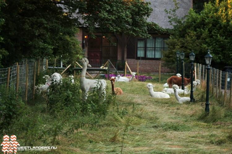 Motie; Alpaca 's moeten terug naar de Wateringseweg