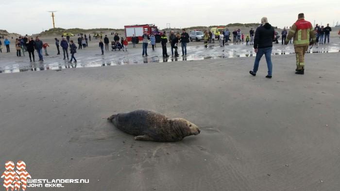 Flinke zeehond op het Hoekse strand