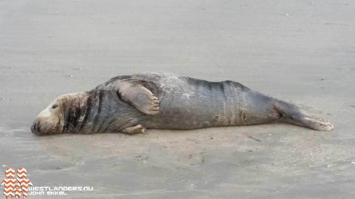 Zeehond op het Hoekse strand; The Day after