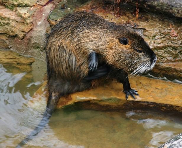 Rattenoverlast op drie plekken in Maassluis