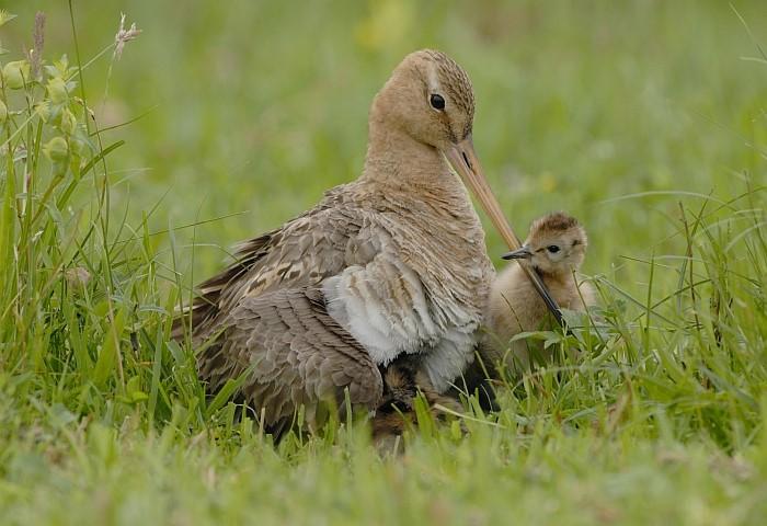 Ruim â?¬6 miljoen extra voor weidevogels in Zuid-Holland