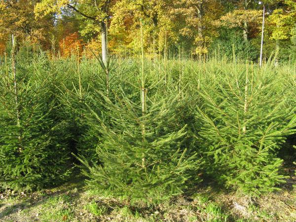 Maassluise jeugd kan mooie prijzen winnen met het inzamelen van oude kerstbomen