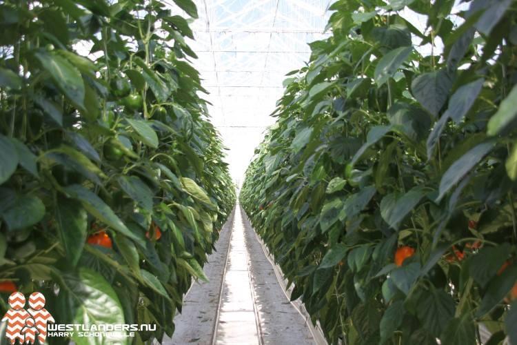Westlandse paprika's volgend jaar naar China