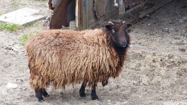 Nieuwe eigenaar gezocht voor gedumpt schaap