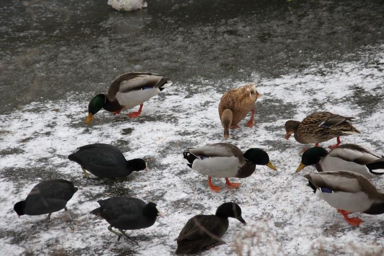 Risico vogelgriep afgenomen: landelijke maatregelen ingetrokken