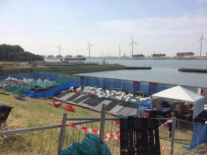 Stand van zaken reddingsactie vervuilde zwanen Nieuwe Waterweg