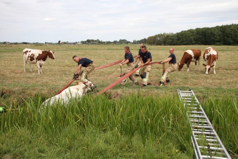 Koe vast in moddersloot