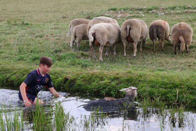 Jongen redt schapen uit de sloot