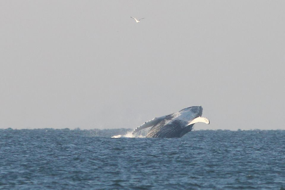 Walvis weer terug voor de kust