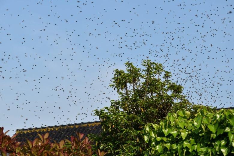 Zwermseizoen voor bijen weer begonnen