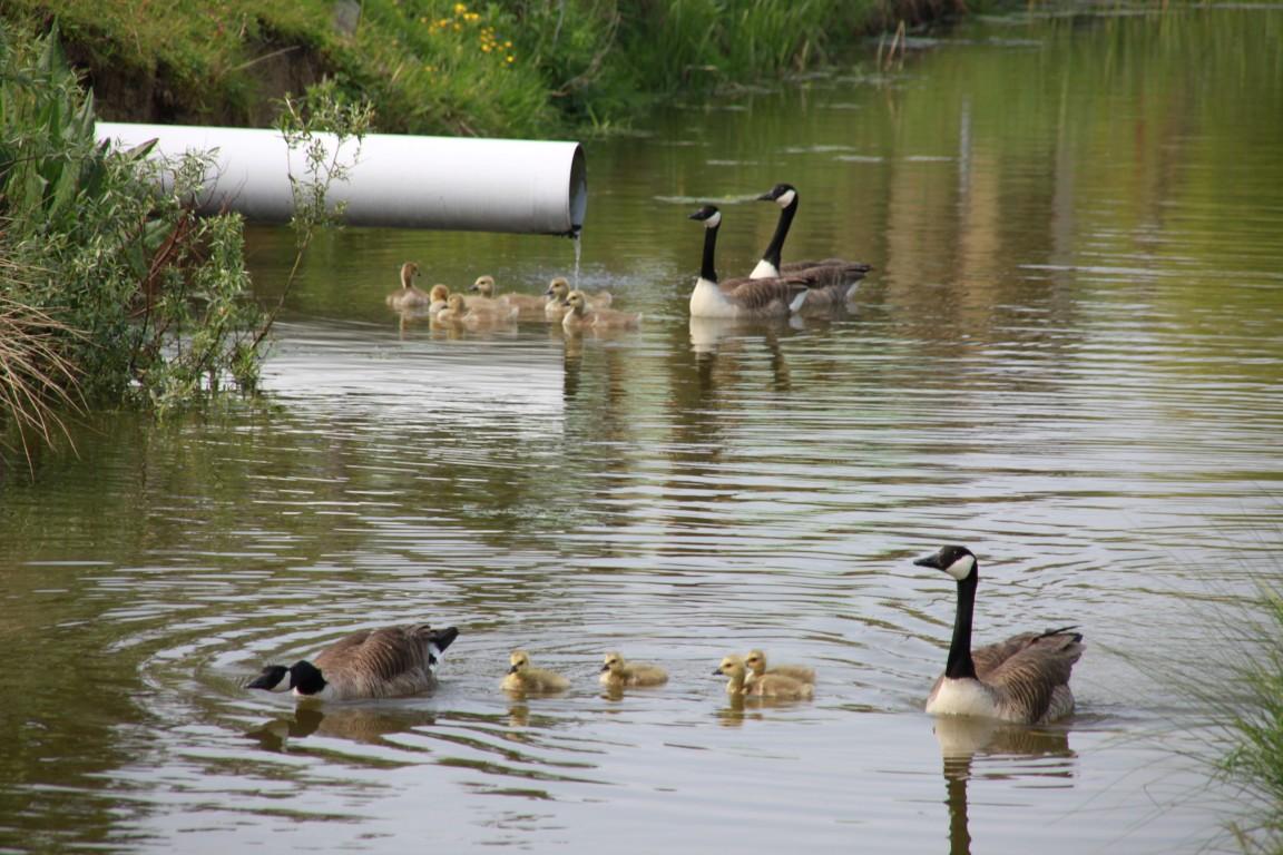 Canadese ganzen in Zuid Holland vogelvrij verklaard