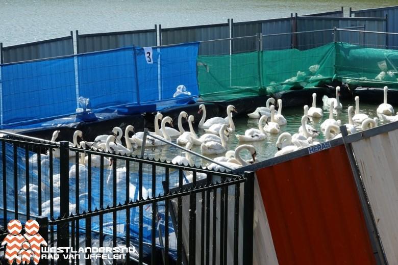 Laatste groep schone zwanen losgelaten uit zwanenopvang