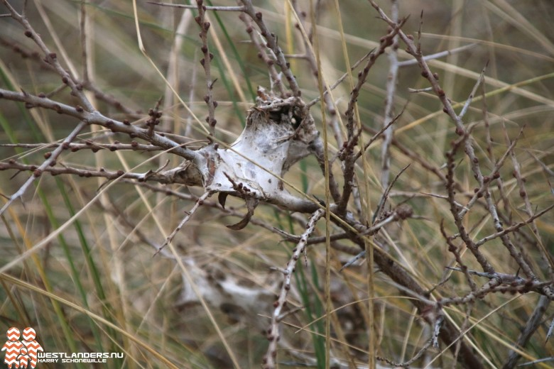 Delfland in actie tegen bastaardsatijnrups