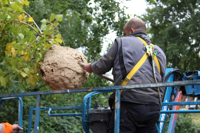 Nest Aziatische Hoornaars verwijderd in Vlaardingen