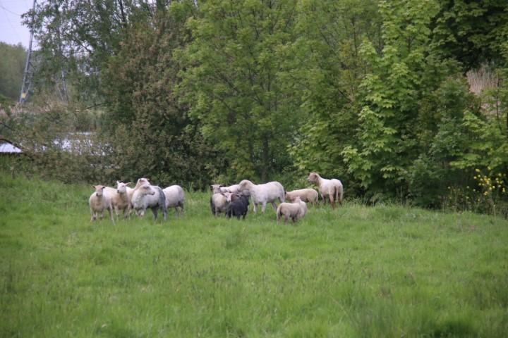 Verdachte situatie bij schapen Maaslandse Dam