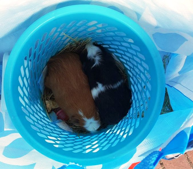 Cavia 's gedumpt in Monster