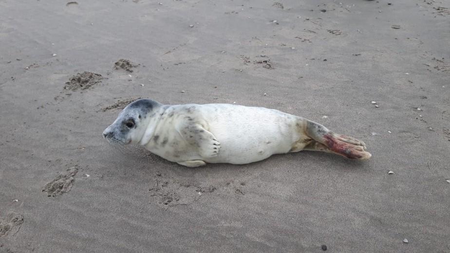 Gewonde zeehond op het strand