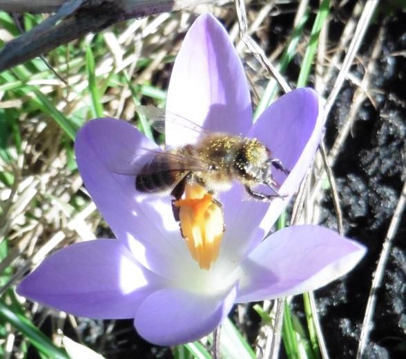 Actie plant bloembollen voor bijen