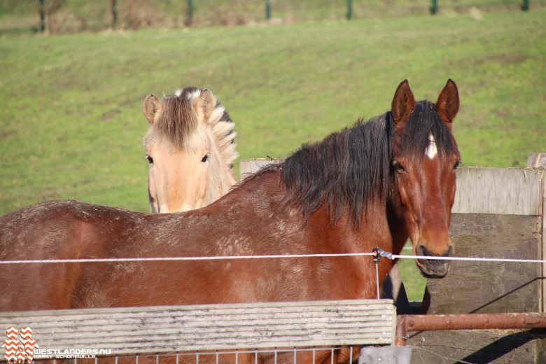 Agressieve variant Rhino-virus bij paarden