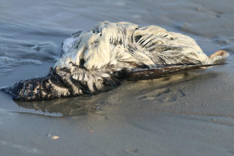 Meer vraagtekens rondom zeekoetensterfte