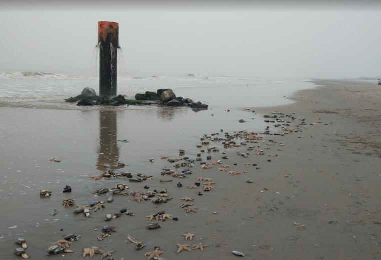 Veel dode zeesterren aangespoeld op Westlandse strand