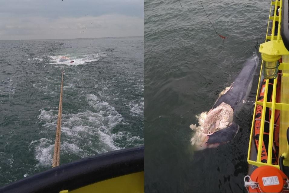 MS Rotterdam neemt dode walvis op sleeptouw