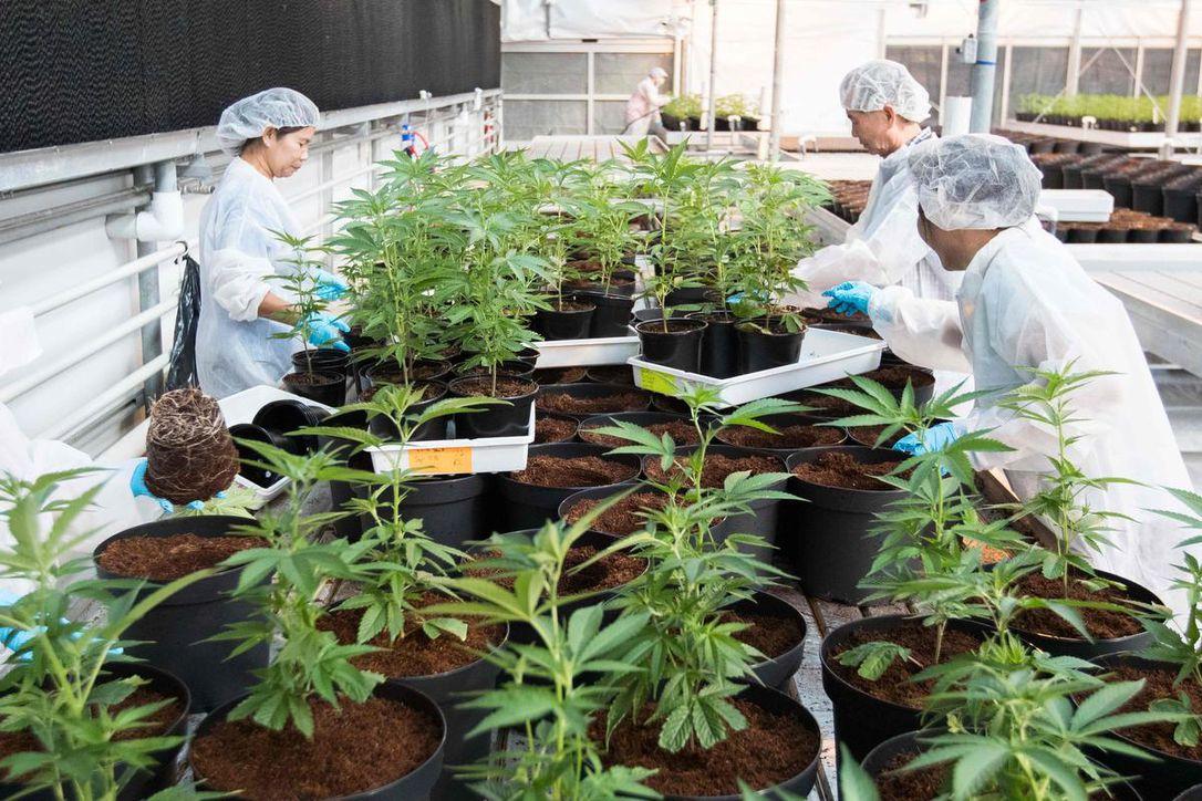 Tuinders in gesprek met Rutte over legalisatie medicinale wiet