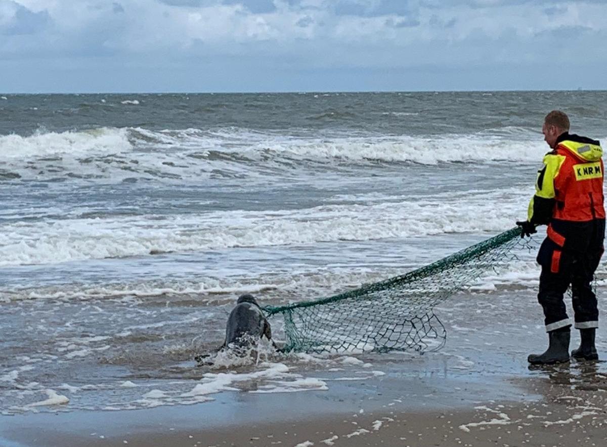 Zwaar gewonde zeehond knapt langzaam op