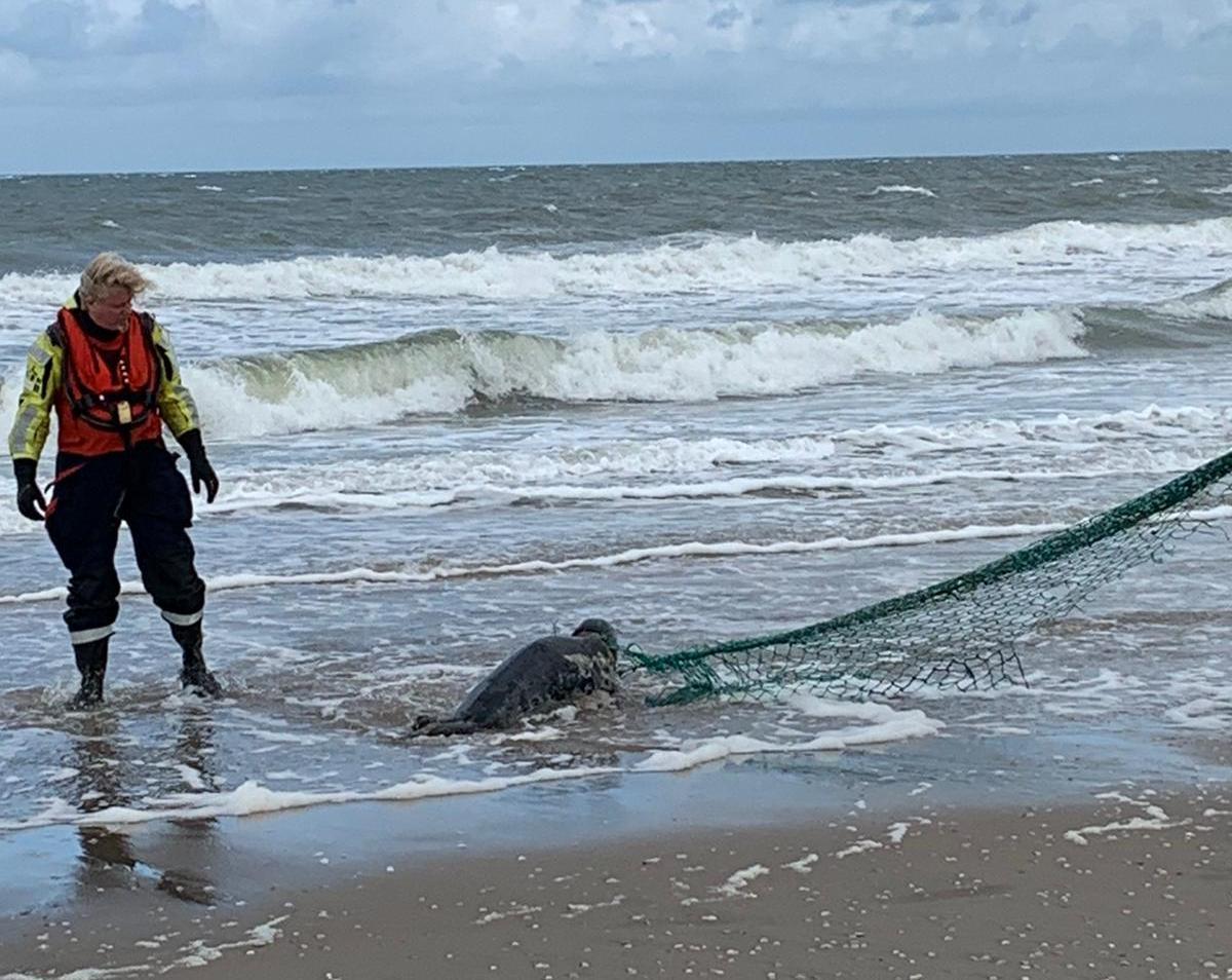 Zeehond ernstig gewond door visnet