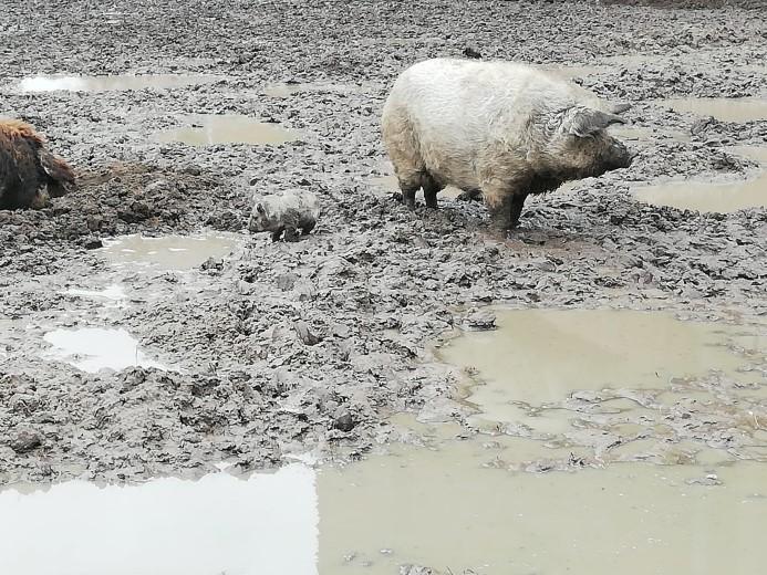 Situatie wolvarkens verbeterd bij Watertoren