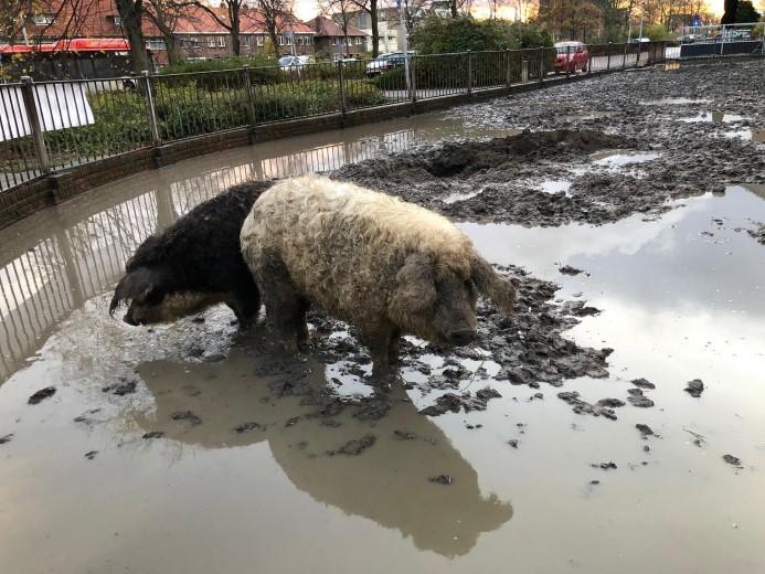 Dakloze wolvarkens in Naaldwijk toch niet verkast
