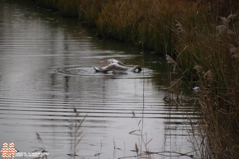 Tweede zwaan overleden na dierenmishandeling bij Portalaan