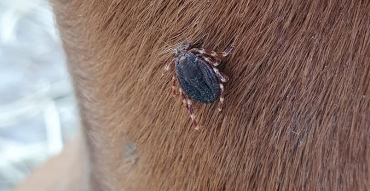 Reuzenteken gevonden op paarden