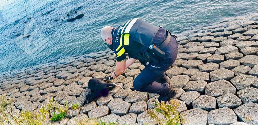 Dode geit bij Nieuwe Waterweg gevonden