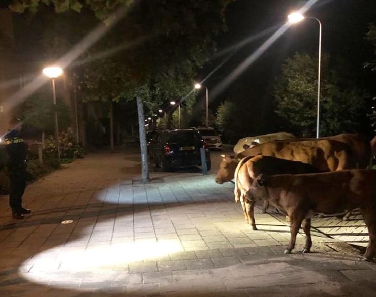 Koeien op stap in Wateringen