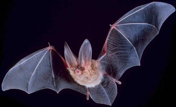 Forse stijging van vleermuizenpopulatie