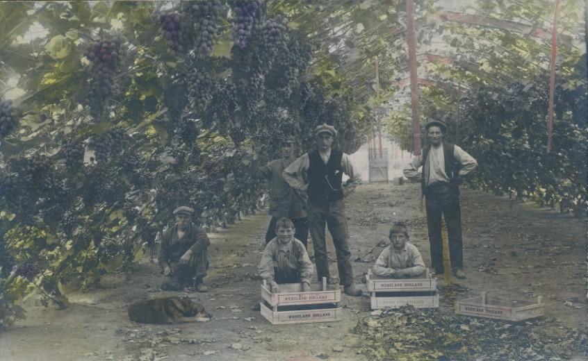 Druivenoogst in Kwintsheul