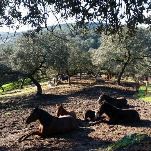 Stichting Paard in nood Spanje zoekt donateurs