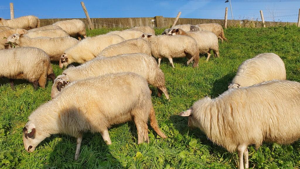 Drachtige schapen op stang gejaagd