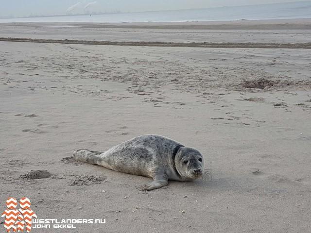 Aseal bezorgd over toename longwormen bij grijze zeehonden