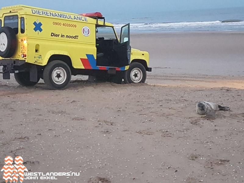 Baby zeehond aangespoeld op strand Ter Heijde