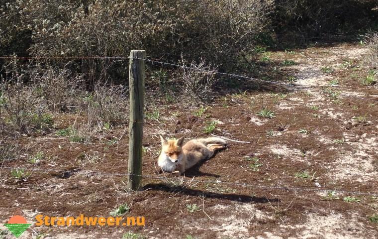 Kiertje wordt konijn fataal