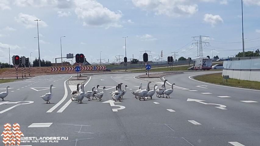 Afschot van ganzen in Zuid Holland van start