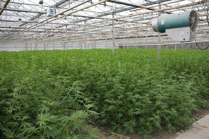 College voor grootschalige medicinale teelt van cannabis